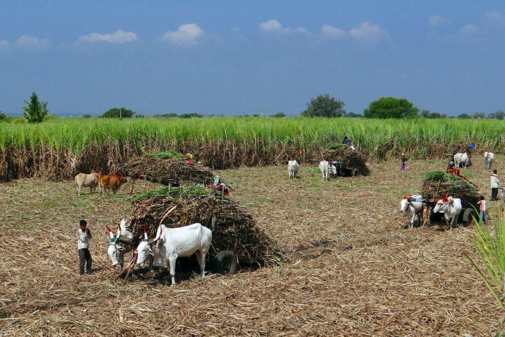 sugarcane harvesting in India